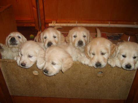 golden retriever pregnancy week by week keweras golden retrievers keweras puppies