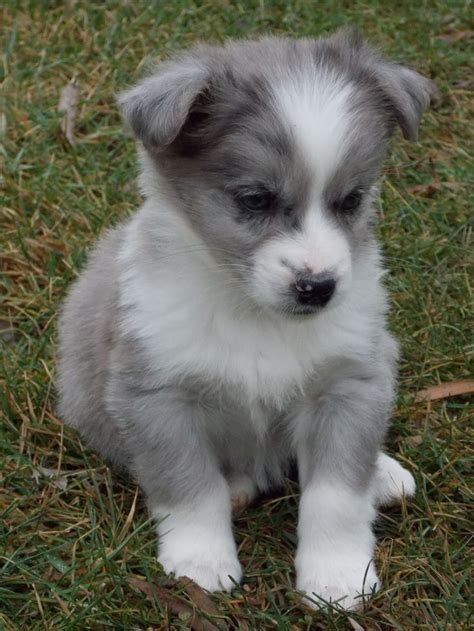 how much are pug puppies in australia australian shepherd mix acorgi australian shepherd mix corgi mixes dzgntvsc 171 health