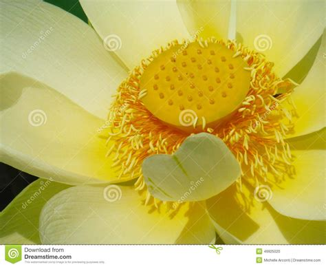 lotus flower cover photo lotus flower book cover stock photo image 49925020