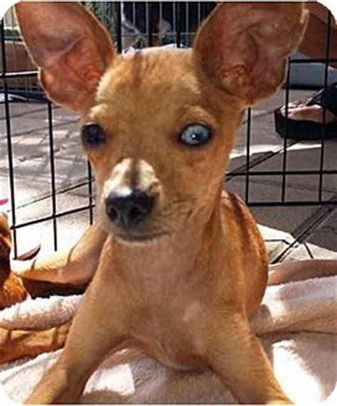 puppies for adoption sacramento miniature pinscher mix for adoption in sacramento california breeds picture