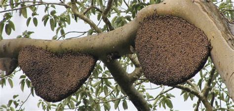 Paket Madu Lebah Mellifera Asli 3 Jenis Nektar beda madu hutan dan madu ternak amfoangjaya