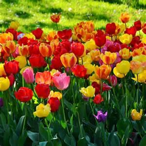 garten tulpe tulpen pflanzen und pflegen