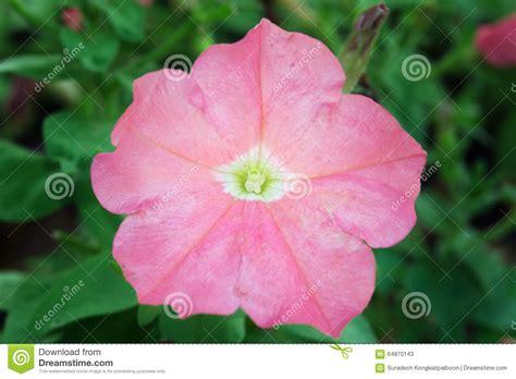 fiore rosa deserto fiore rosa della rosa deserto altri nomi sono rosa