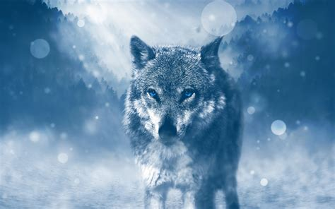 www hd wild wolf 4k wallpapers hd wallpapers id 19486