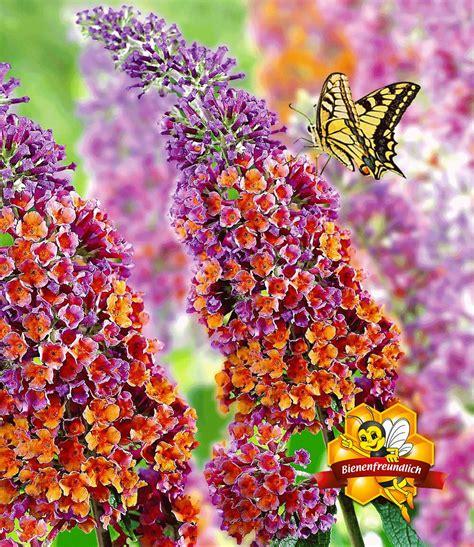 wann sommerflieder schneiden buddleia flower power 174 sch 246 n pflegeleicht bei baldur