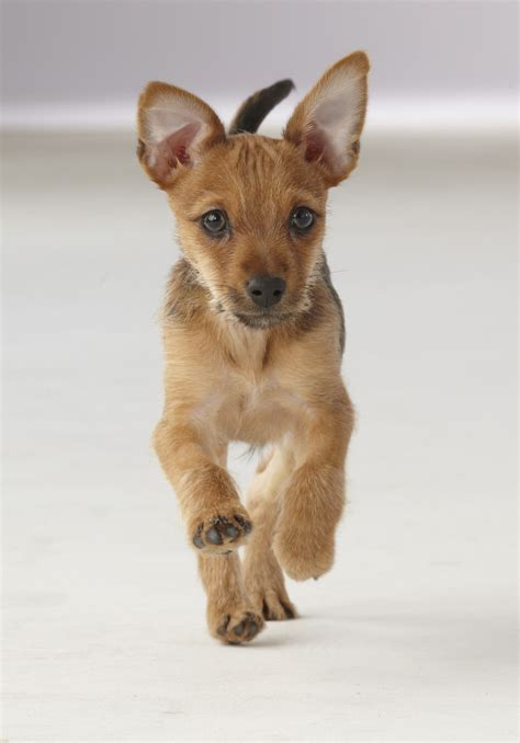 yorkie pin pin yorkie beagle mix puppies image search results on