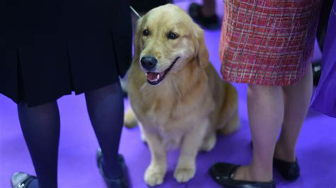 westminster show golden retriever adorable photos of dogs at the 2017 westminster show other sports sporting news