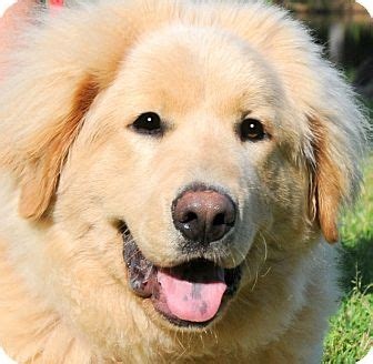 newfoundland golden retriever newfoundland golden retriever mix breeds picture