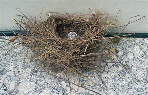 when do house finches lay eggs house finch nest and eggs