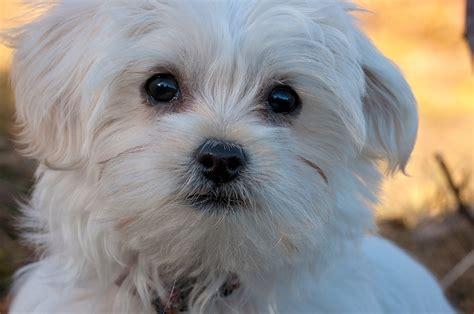 alimentazione cani maltesi come educare un maltese con cordialit 224 e gentilezza