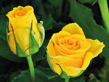 Rosebud Putih ask bunga mawar jenis apa yang harum halaman 8