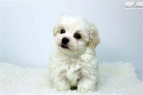 maltese puppies for sale near me maltese puppy for sale near los angeles california cfab2313 1371