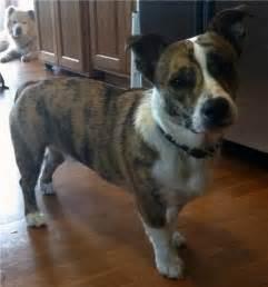 Adorable pictures of corgi cross bred dogs a doggie bloggie