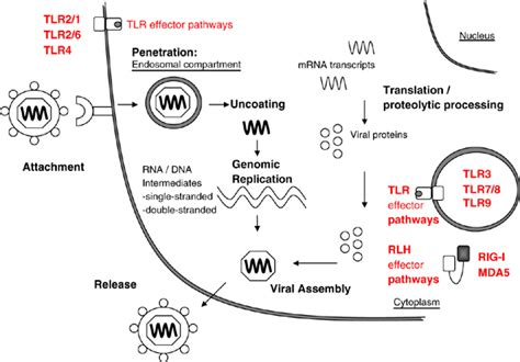 pattern recognition steps viral life cycle pattern recognition receptors are able