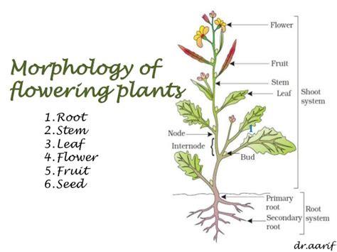 morphology of flowering plants i root stem leaf