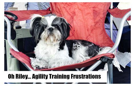 shih tzu obedience more shih tzu agility frustrations omst