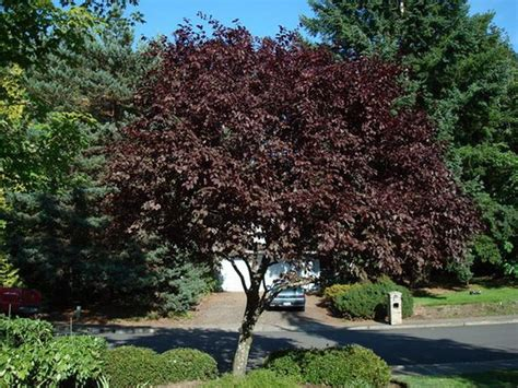 Plumb Tree by Gardening Landscaping Beautiful Garden With