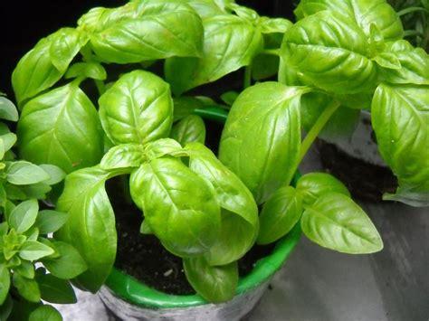 seminare il basilico in vaso seminare il basilico aromatiche consigli per seminare