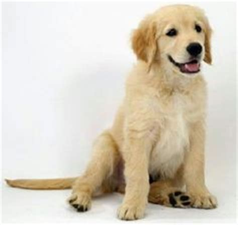 kathy s golden retrievers goldens are the sweetest dogs on golden retrievers golden retriever