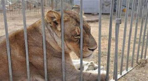 animali da gabbia il circo degli orrori leoni zebre e orsi all inferno