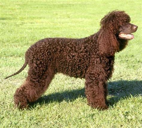 Non Shedding Breeds by Breeds Designer Breeds Cheapest Breeds Non