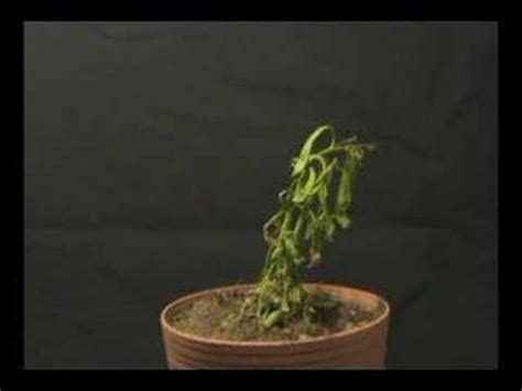 how to save a dying plant plant dying time lapse youtube