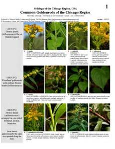 Flower Goldenrod - new rapid color guide common goldenrods of the chicago region the field museum