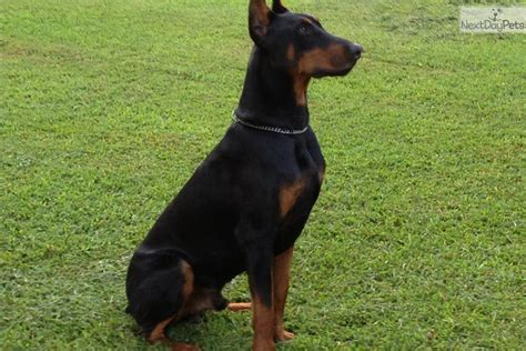 doberman puppies for sale in sc akc miniature pinscher puppies for sale miniature pinscher puppy in breeds picture