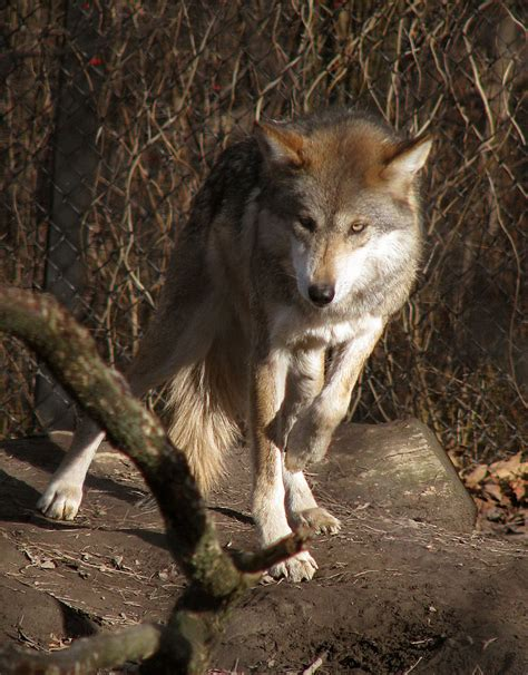 9 best images about wolf mexican wolf stock 9 by hotnstock on deviantart