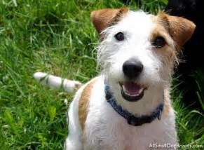 Russell terrier rough jack russell terrier rough small dogs