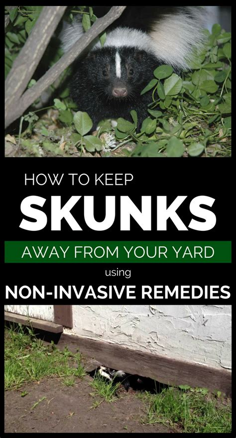 how to get rid of skunks in your backyard how to keep skunks away from your property using non
