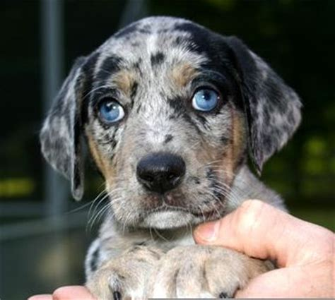 catahoula hound follow the piper catahoula leopard dogs