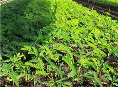 Jual Bibit Sengon Lung bibit tanaman murah jual bibit sengon di pekanbaru