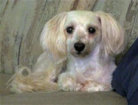 havanese rescue washington state 181 best images about havanese rescue dogs on washington state adoption