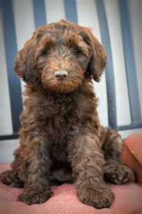 labradoodles puppies for sale australia australian labradoodle puppy labradoodle