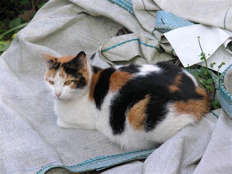 Sale Korean Boyset White Cola c 243 mo identificar a los gatos tricolores