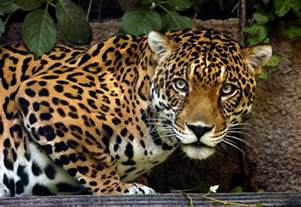 What Part Of The Rainforest Do Jaguars Live In Los Angeles Zoo And Botanical Gardens Conservation