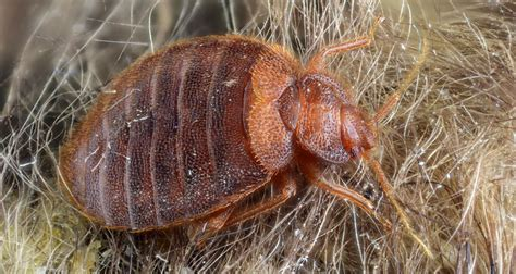 what kills bed bugs and their eggs what kills bed bugs and their eggs what kills bed bugs and their eggs how to get rid