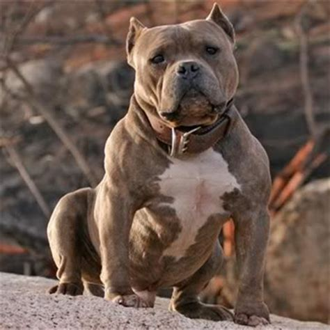 razors edge pitbull puppies razors edge pit bull bloodline history kinneman kennels american bully pitbull puppies