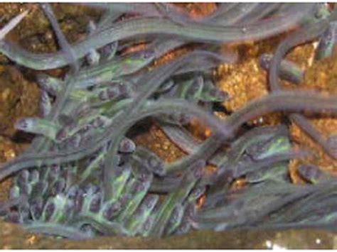 Jual Benih Ikan Sidat Cilacap cara memelihara sidat elver