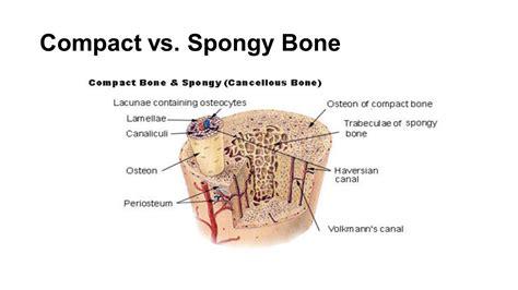 compact bone diagram mid term review ppt