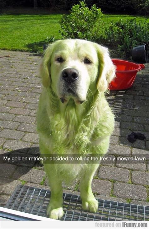 my golden retriever my golden retriever ifunny