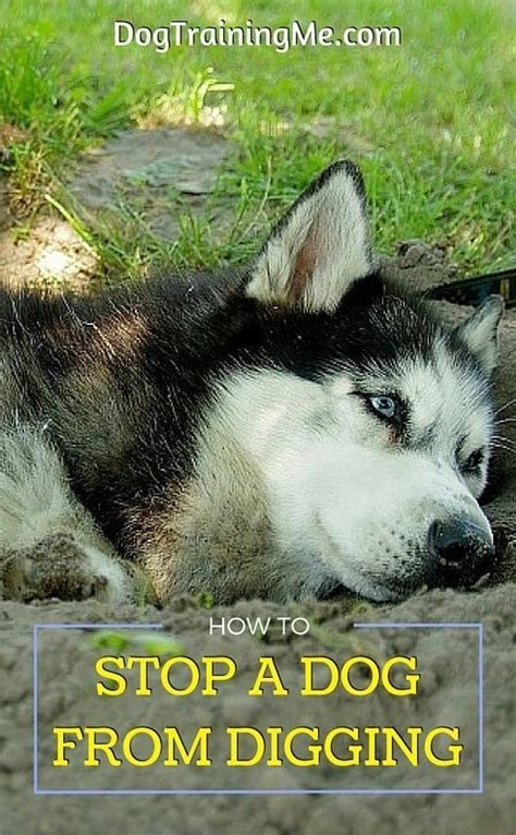 how do you stop a from digging 25 b 228 sta stop dogs from digging id 233 erna p 229 hundtr 228 ning och tips om