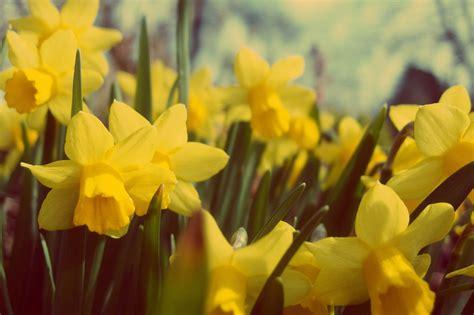 daffodil yellow yellow daffodil free stock photos libreshot