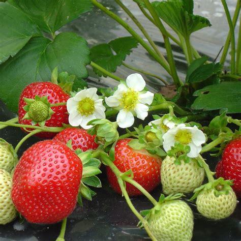Cultiver Les Fraises cultiver les fraisiers potager fraisier