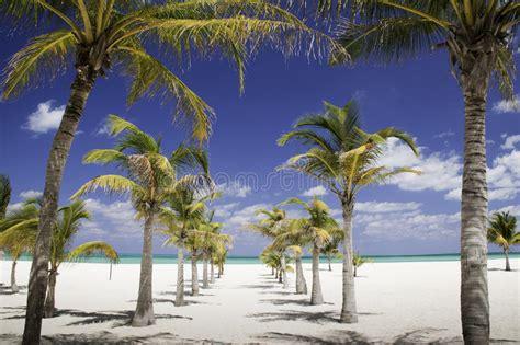caribbean shade row  palm trees leading  sea royalty