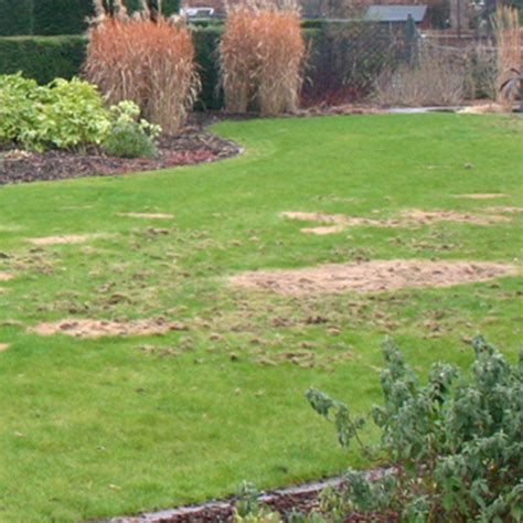 Nemasys Chafer Grub Killer Chafer Grub Control Dt Brown Grub Killer Safe For Vegetable Garden