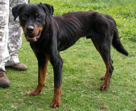 6 month rottweiler skelly 4 6 month rottweiler cross for adoption