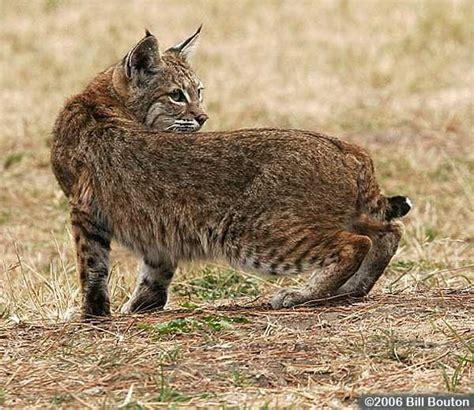 saw a Carolina bobcat run across the road while visiting