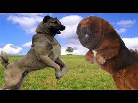 kangal vs rottweiler real fight kangal vs tibetan mastiff who would win in a fight 4597 on drama tv